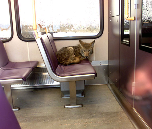 The coyote that jumped on the Portland MAX line at the PDX airport Feb 15th 20002