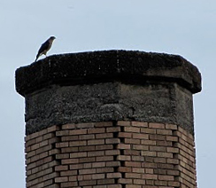 Chapman School Swifts stalked by the dastard, a hungry Coopers Hawk.