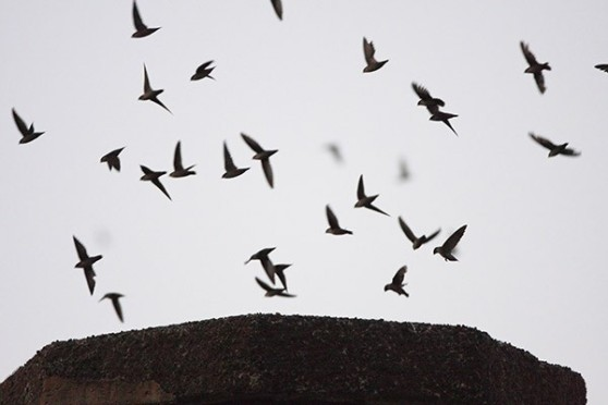 Swifts entering the Chapman School chimney.