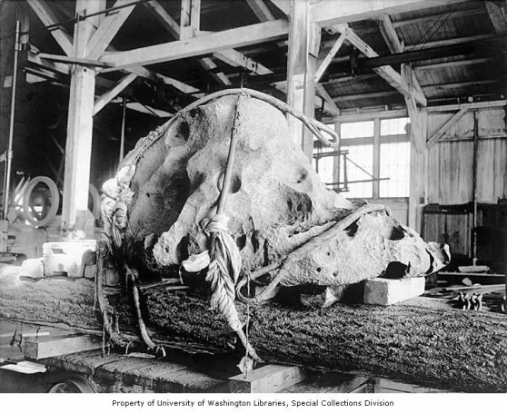 Willamette Meteorite on display on a log platform, Lewis and Clark Exposition, Portland, Oregon, 1905
