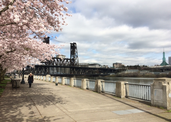 Waterfront Park in bloom thanks to Bill Natio's choice to add cherry blossom trees.